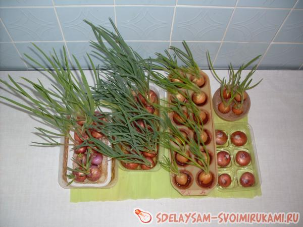 Green onions in a city apartment