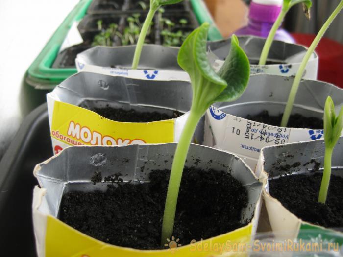 Выращивание кабачков в природном земледелии!