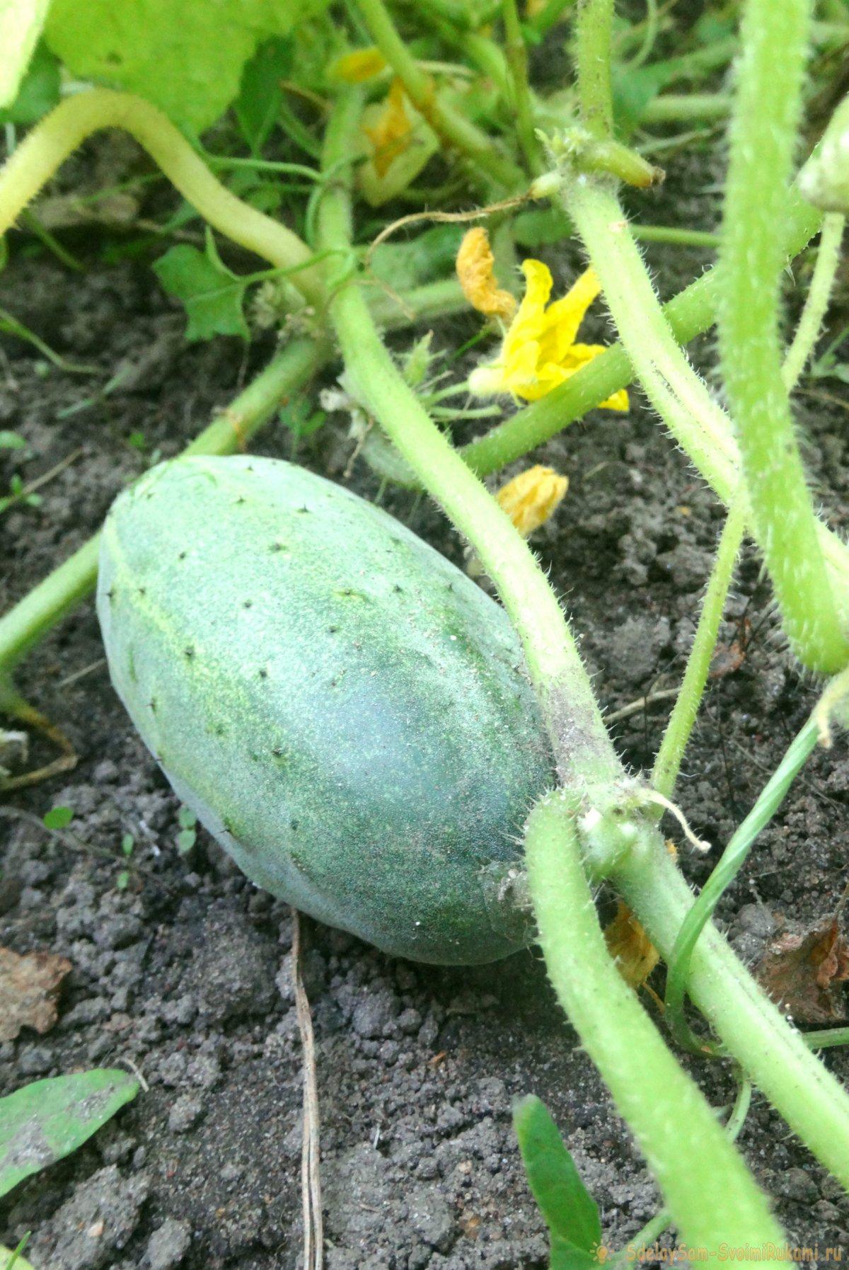 Огурцы: как получить богатый урожай, приложив минимум усилий