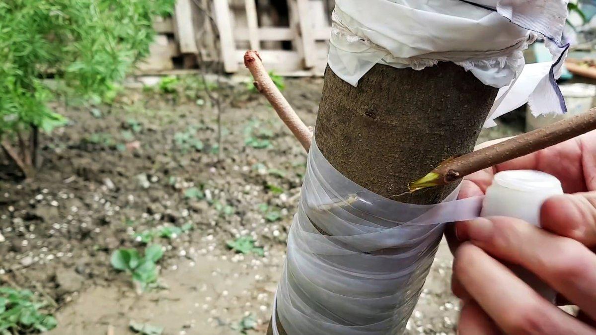 Как с помощью дрели привить дерево