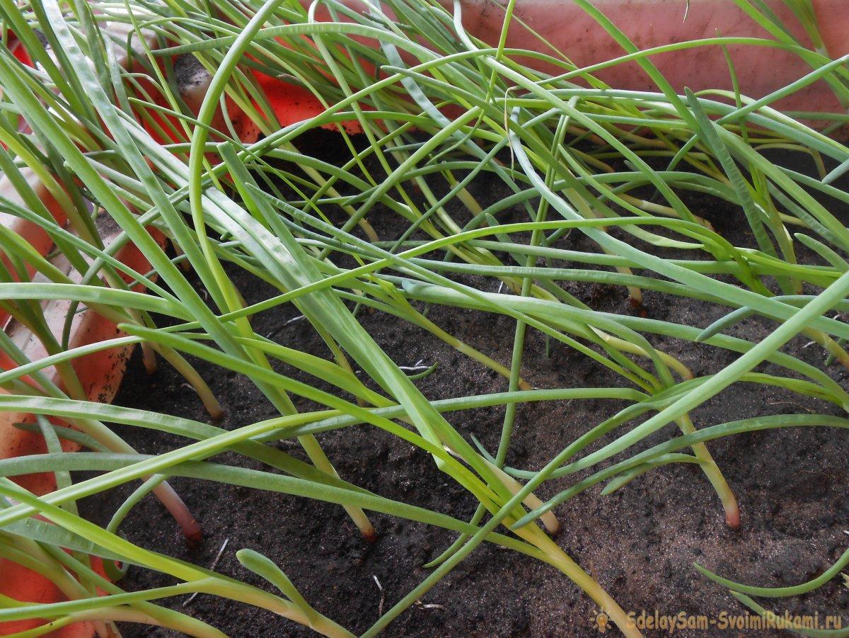Выгонка лука на зелень в домашних условиях в воде и почвенном субстрате: все тонкости и нюансы