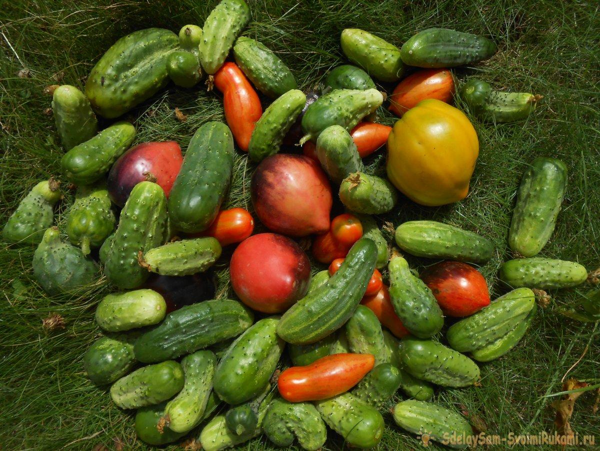 Всем доступная подкормка для защиты и большого урожая огурцов