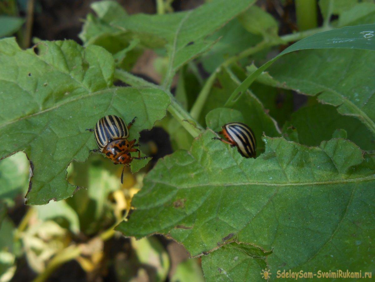 Народные средства в борьбе с колорадским жуком доказавшие свою эффективность