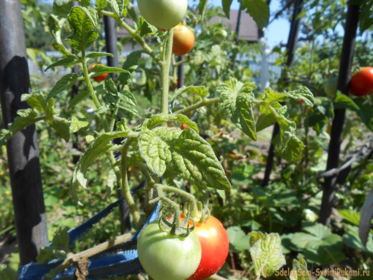 Универсальный рецепт подкормки помидоров во время созревания плодов