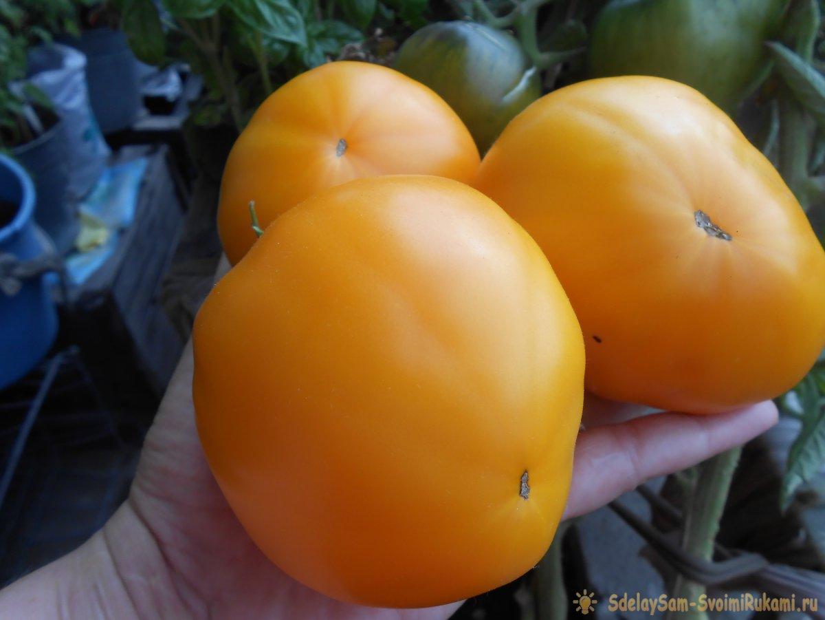 Самые дешевые и действенные подкормки помидоров после высадки