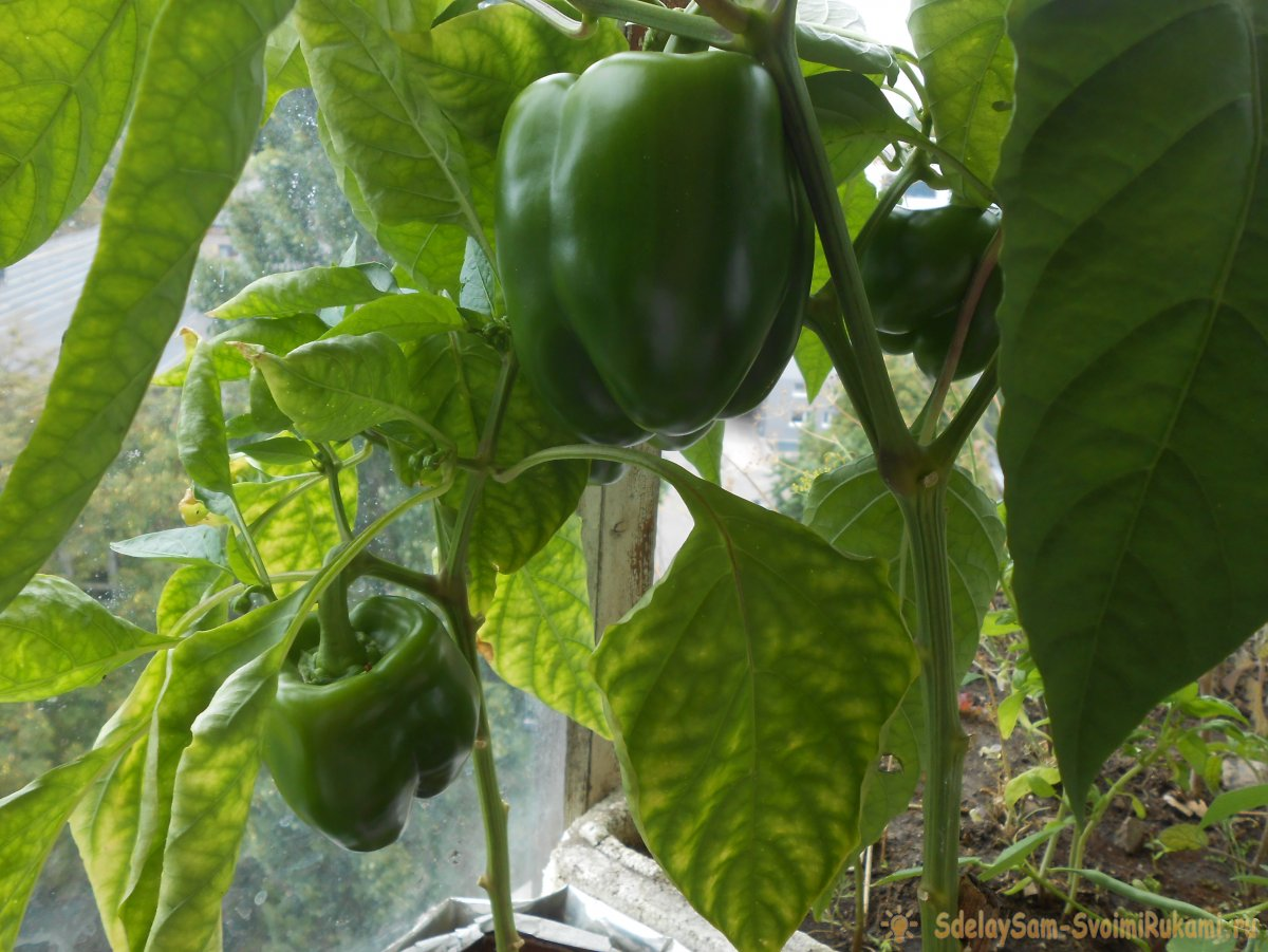 Бесплатное удобрение которое повысит урожай помидоров, перцев и огурцов