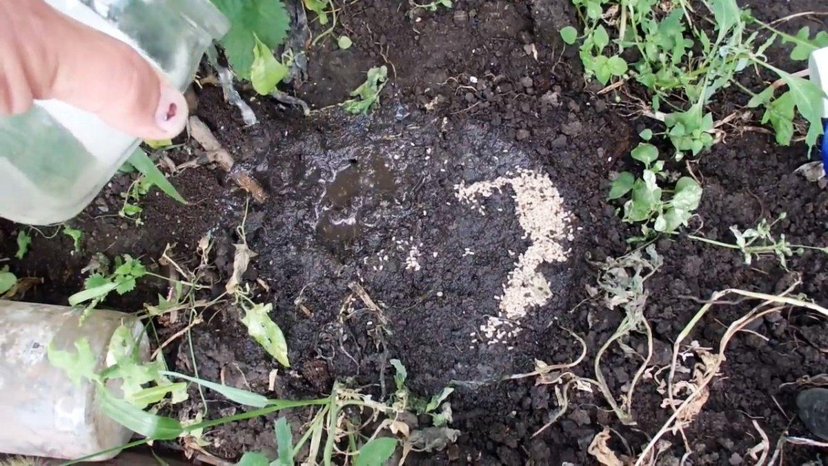Выгоняем муравьев из теплицы за 5 минут крайне простым средством
