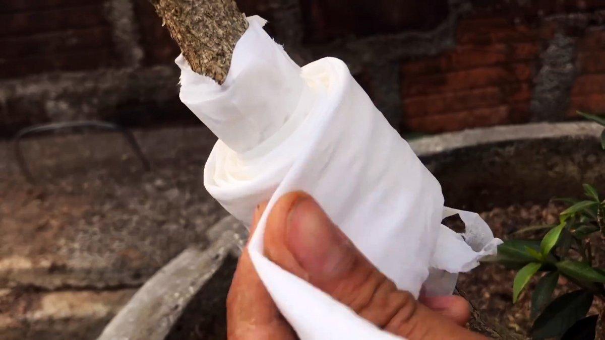 Формируем саженец любого дерева из ветки с помощью туалетной бумаги