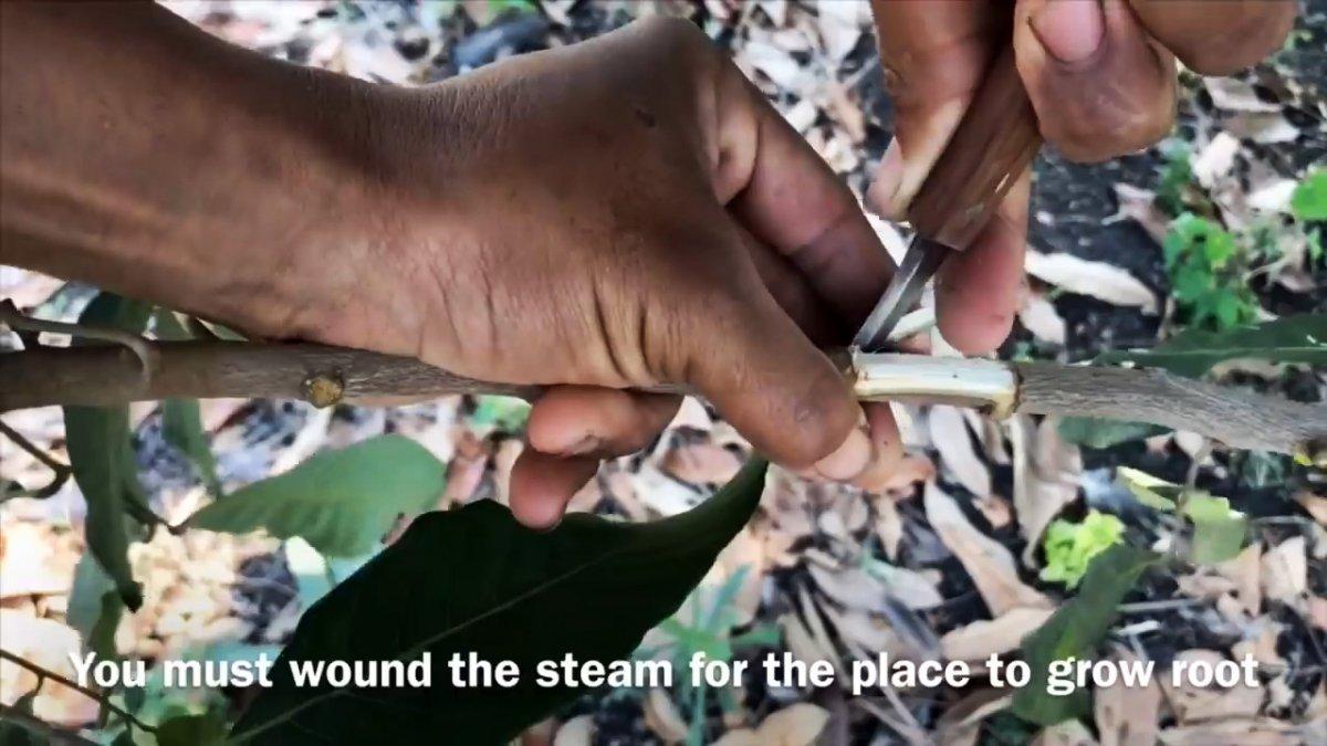 100% верный способ получить саженец любого дерева