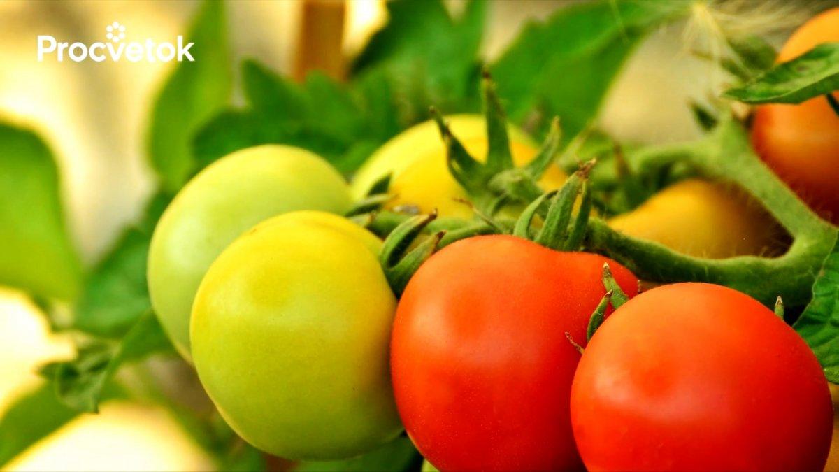 Вершинной гнили томатов больше не будет, если полить их этим средством