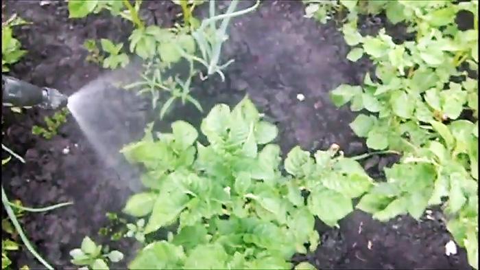 Отрава для колорадских жуков из продуктового магазина