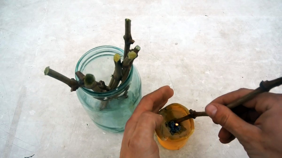 100% способ прорастить черенки винограда, делаю всегда только так