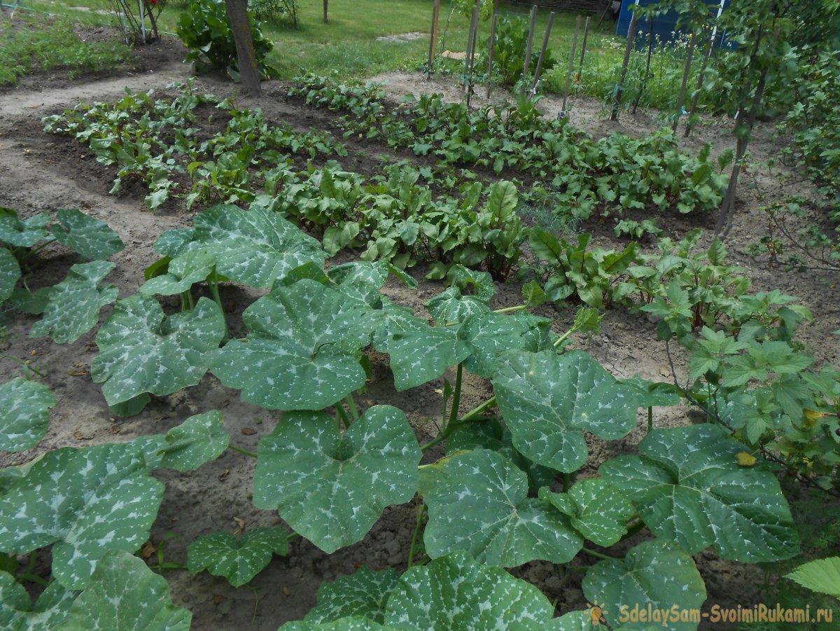 Три причины снижения урожайности кабачков