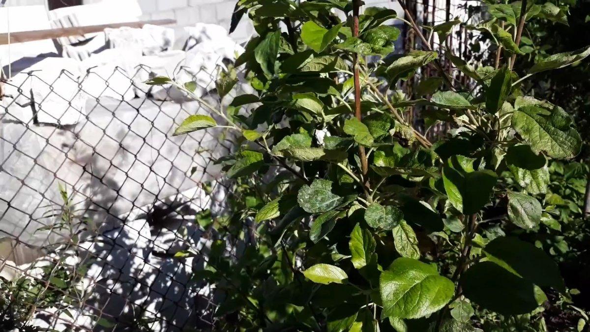 Как заставить молодые деревья плодоносить