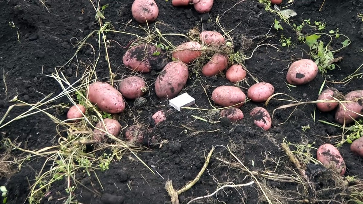 Картошка выходит сама: простая  картофелекопалка для мотоблока которую легко повторить