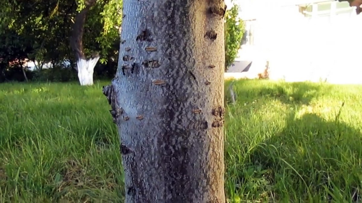 Копеечный способ борьбы с муравьями и тлей на деревьях