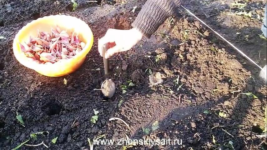 Как и когда сажать чеснок в зиму для большого урожая