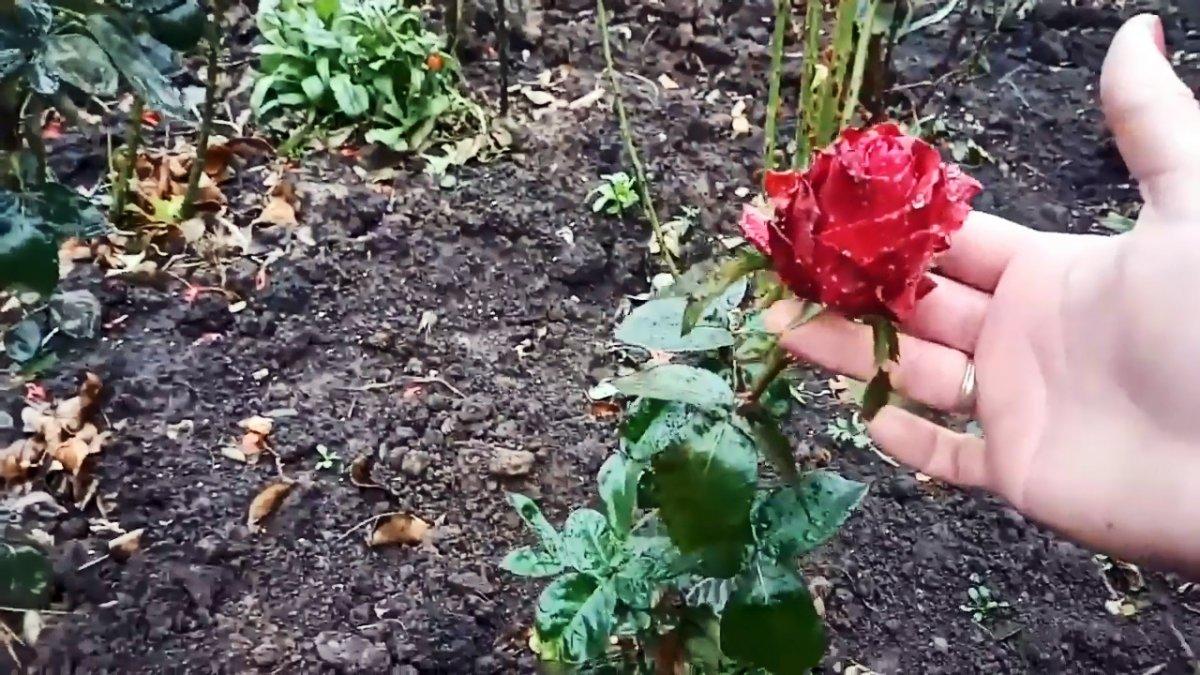 Как черенковать розы большими партиями осенью. Способ для ленивых