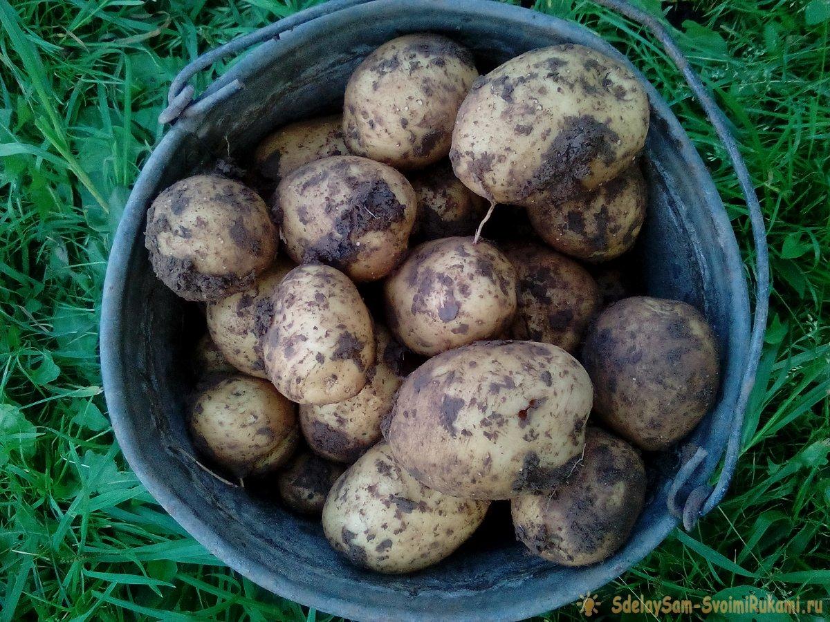 Как получить ранний урожай картофеля