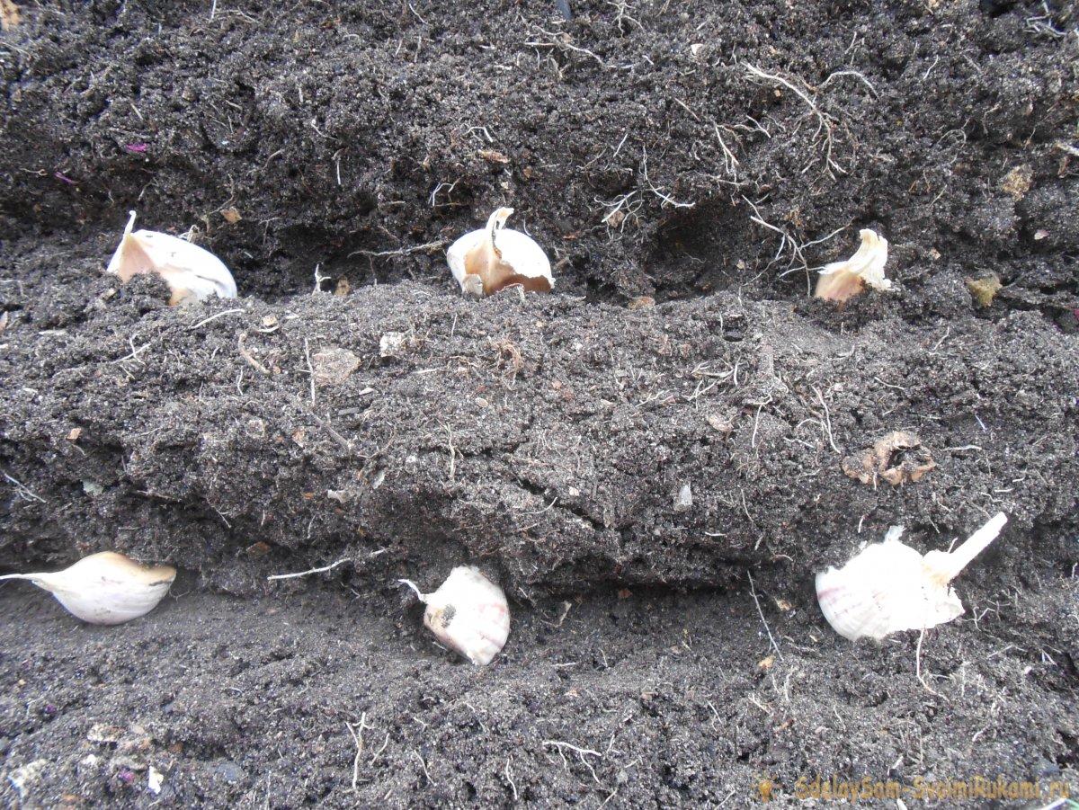 Сроки посадки чеснока под зиму, как определить идеальное время посева