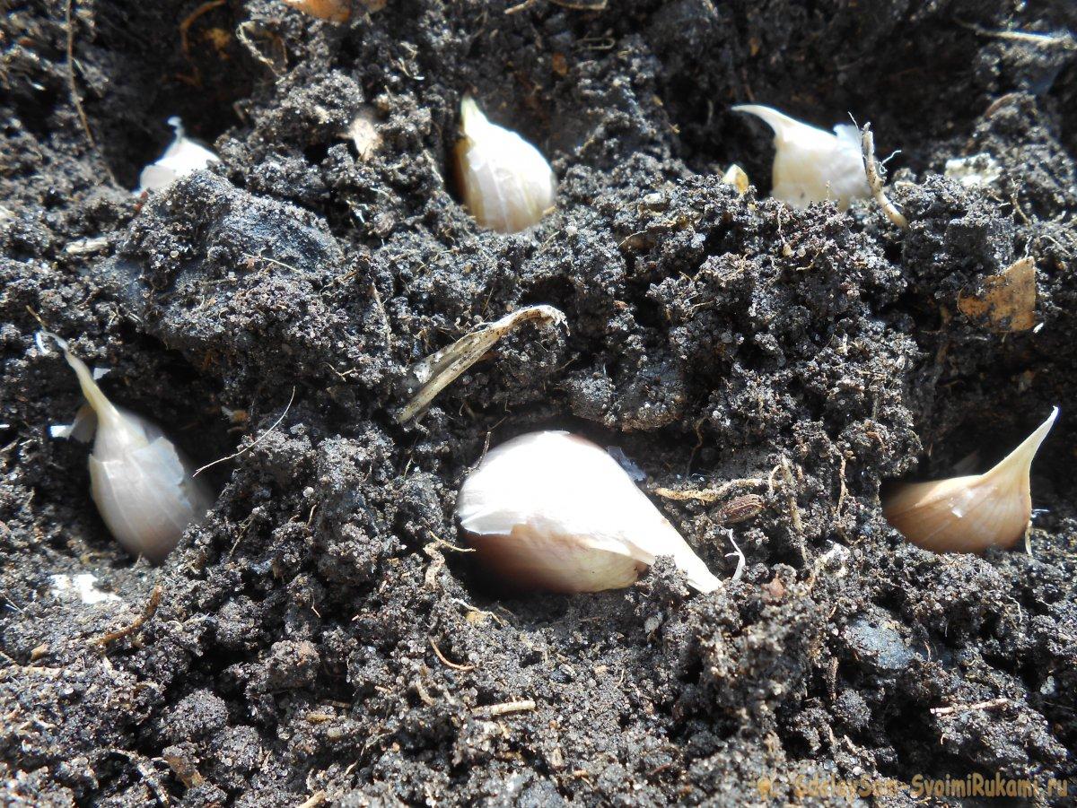 Качественный посадочный материал для получения обильного урожая озимого чеснока