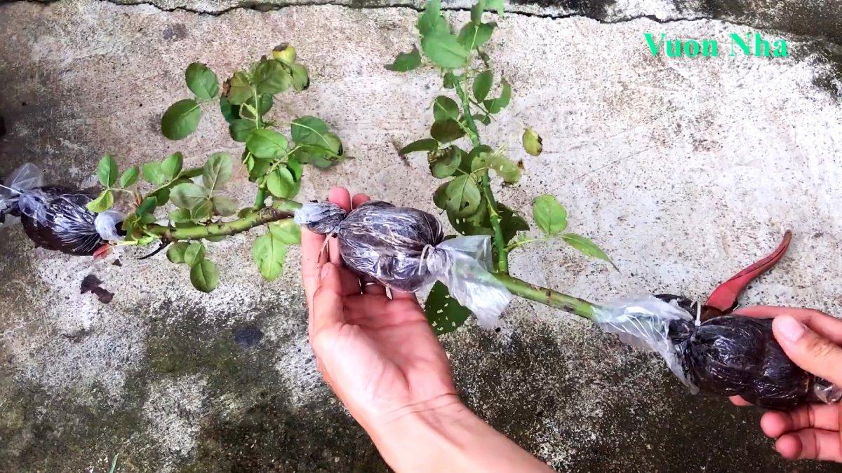 Как по-новому сформировать отводок розы с крепкими корнями