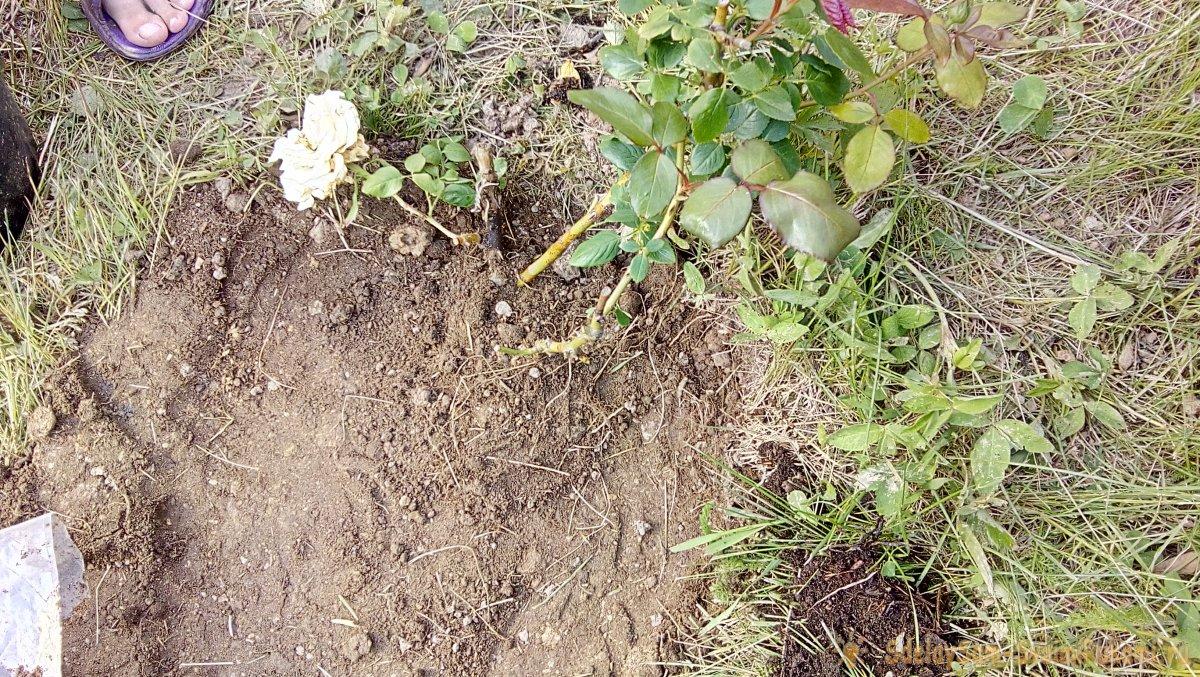 Интересный способ посадки роз в Сибири