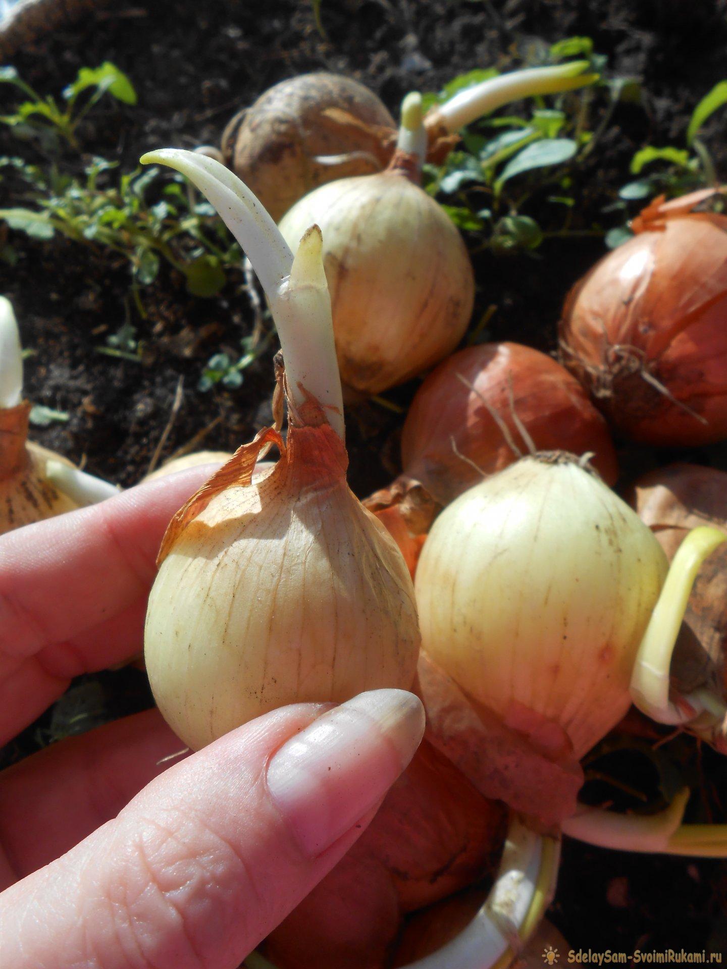 Все секреты быстрого выращивания зеленого лука на подоконнике