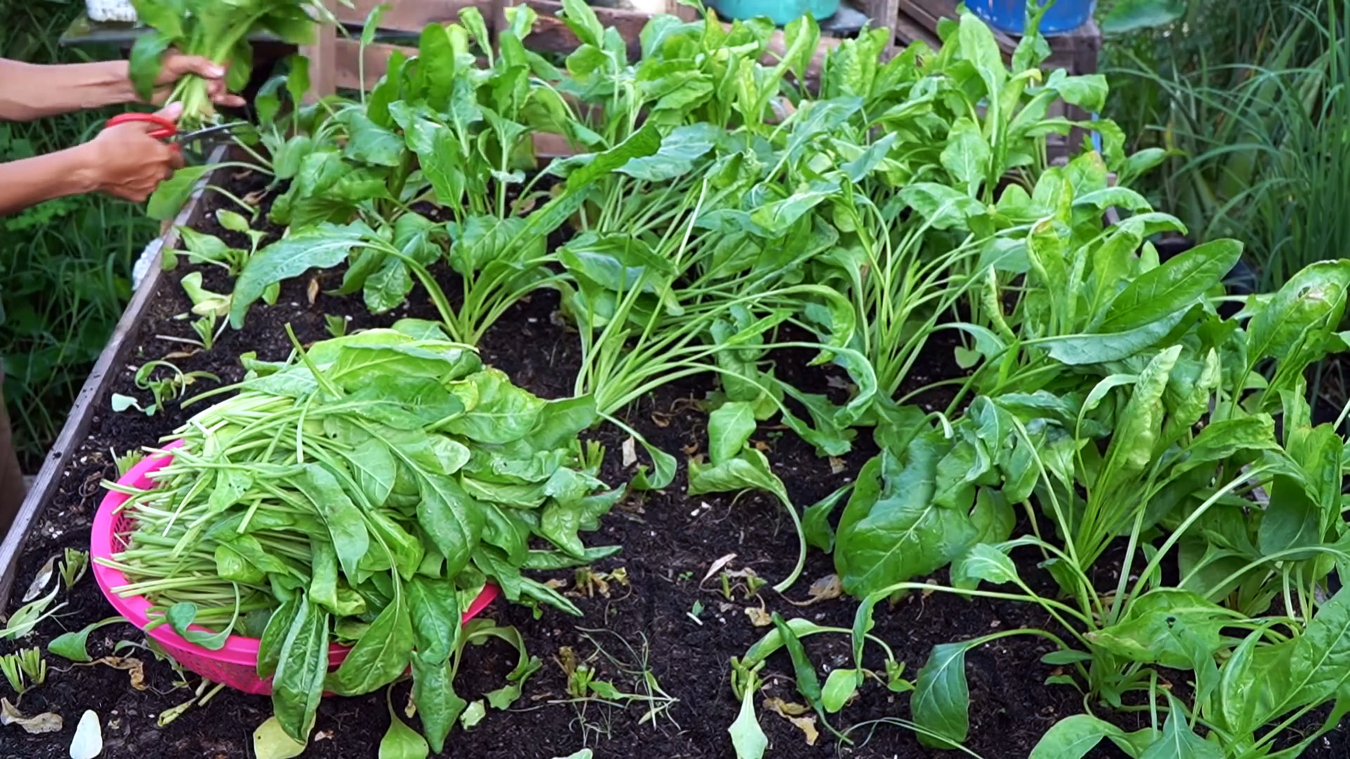 Как при помощи ПЭТ бутылок за полтора месяца вырастить запас шпината на весь год
