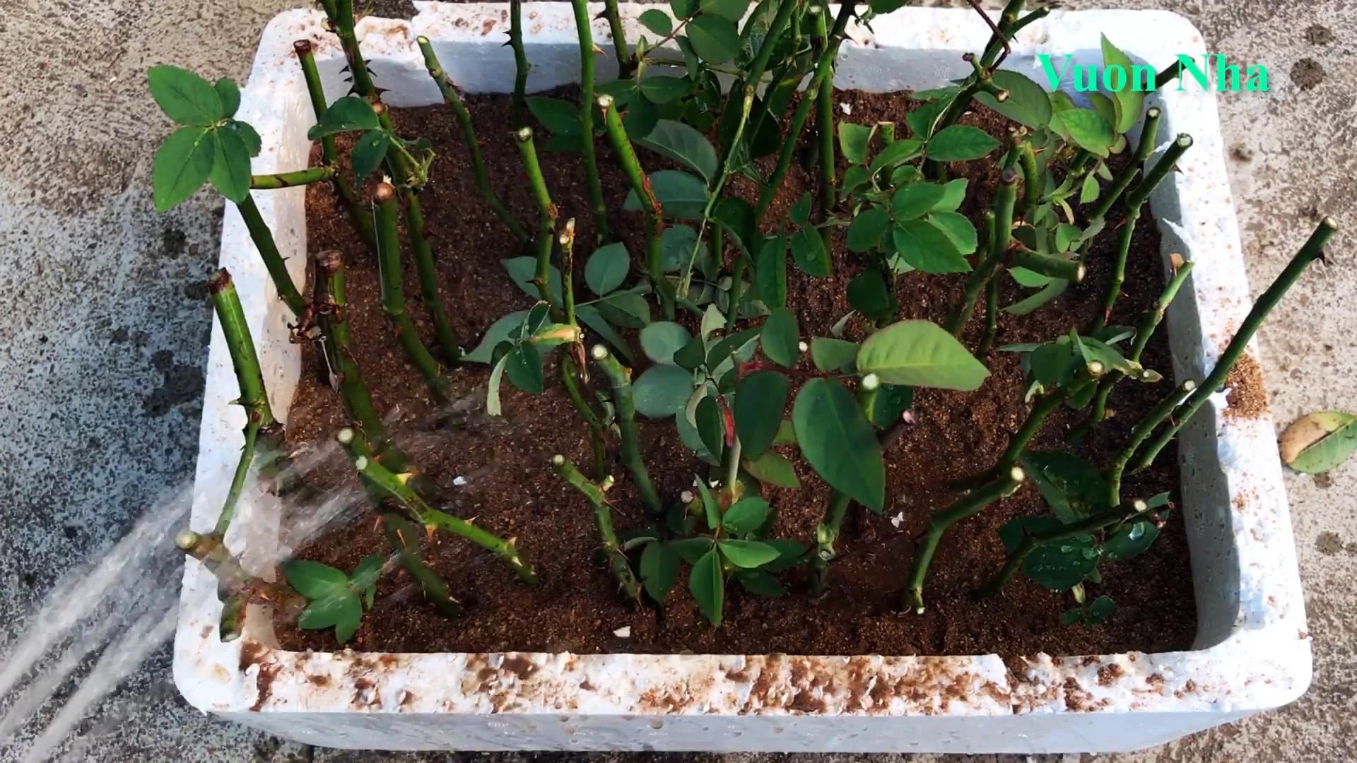 Наипростейший способ массово размножить розу. Совет профессионального садовника