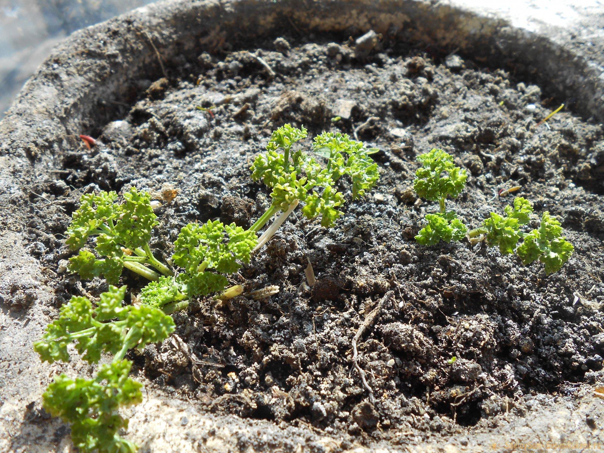 Как вырастить петрушку на подоконнике зимой и летом. Пошаговая фото инструкция с секретами