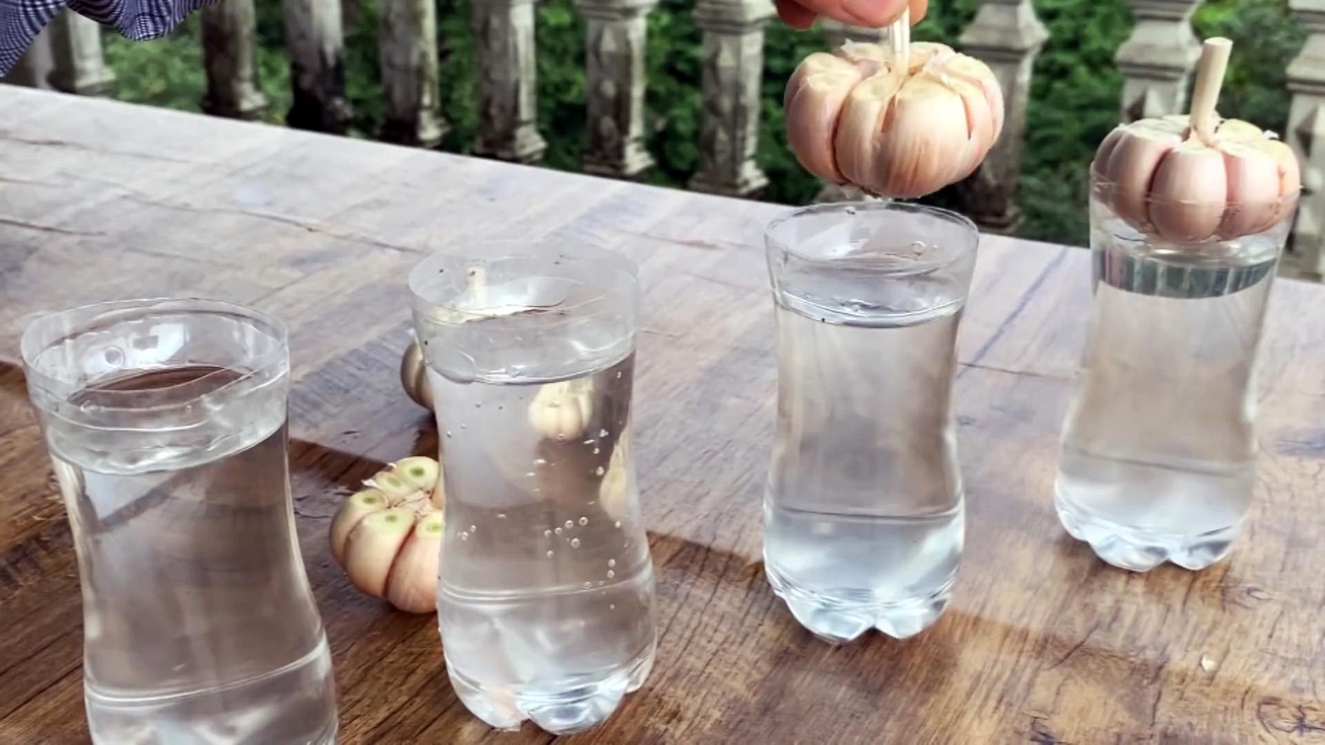 Как быстро и легко укоренить чеснок при помощи ПЭТ бутылки