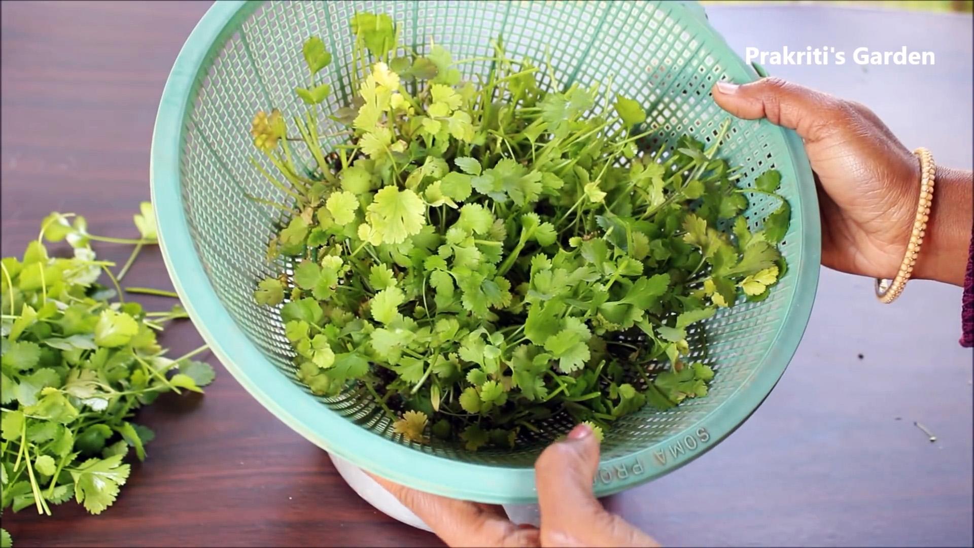 Простой способ выращивания кориандра в гидропонике у вас на подоконнике