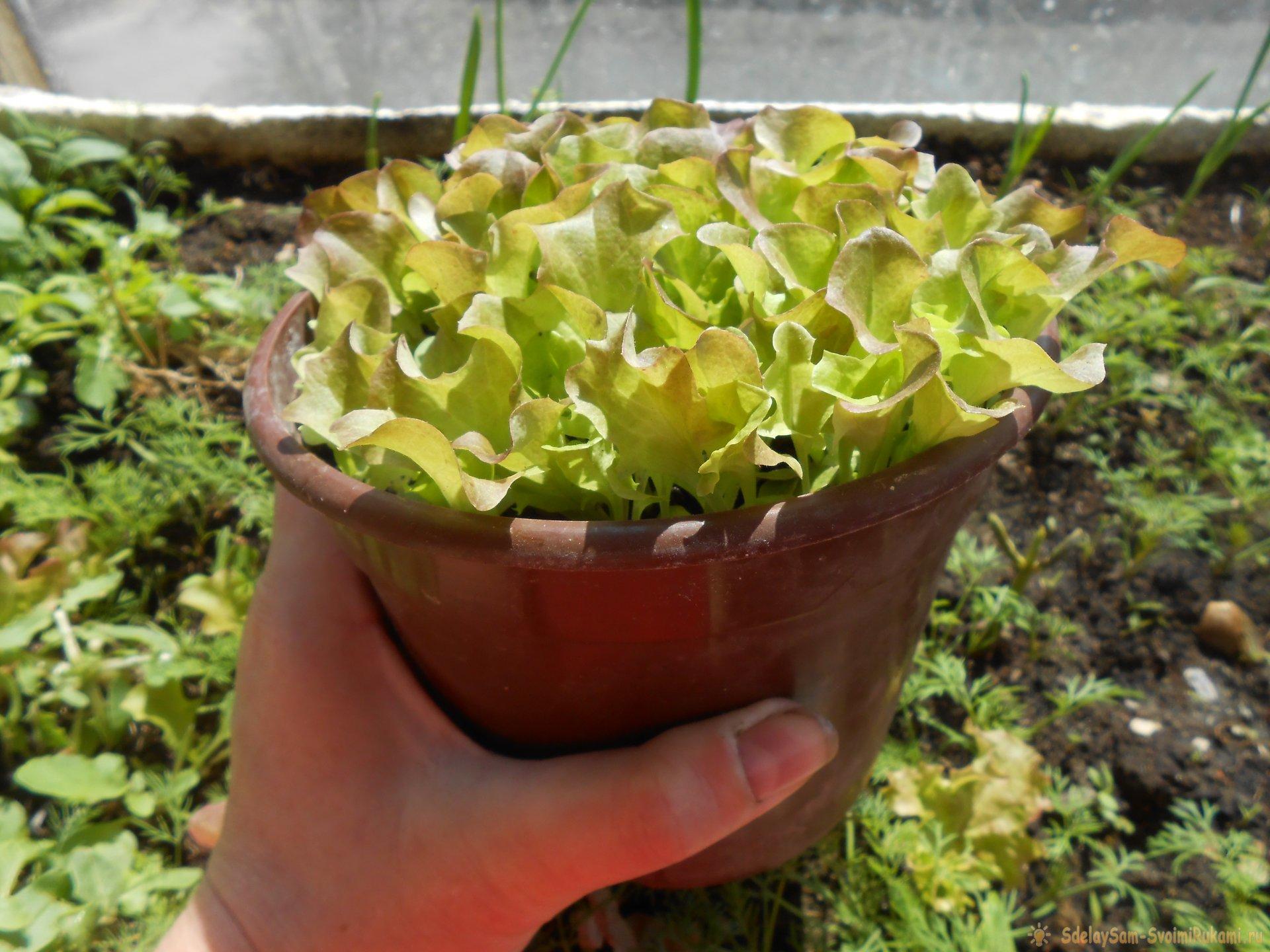 Выращивание листового салата в домашних условиях. Полный отчет от выбора семян до результата