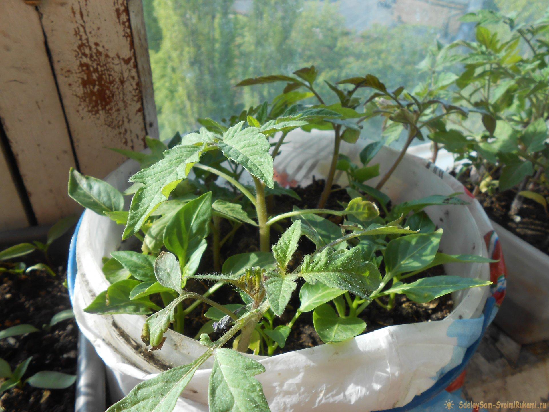 Лайфхак садоводу: Стимуляция корнеобразования рассады с помощью янтарной кислоты