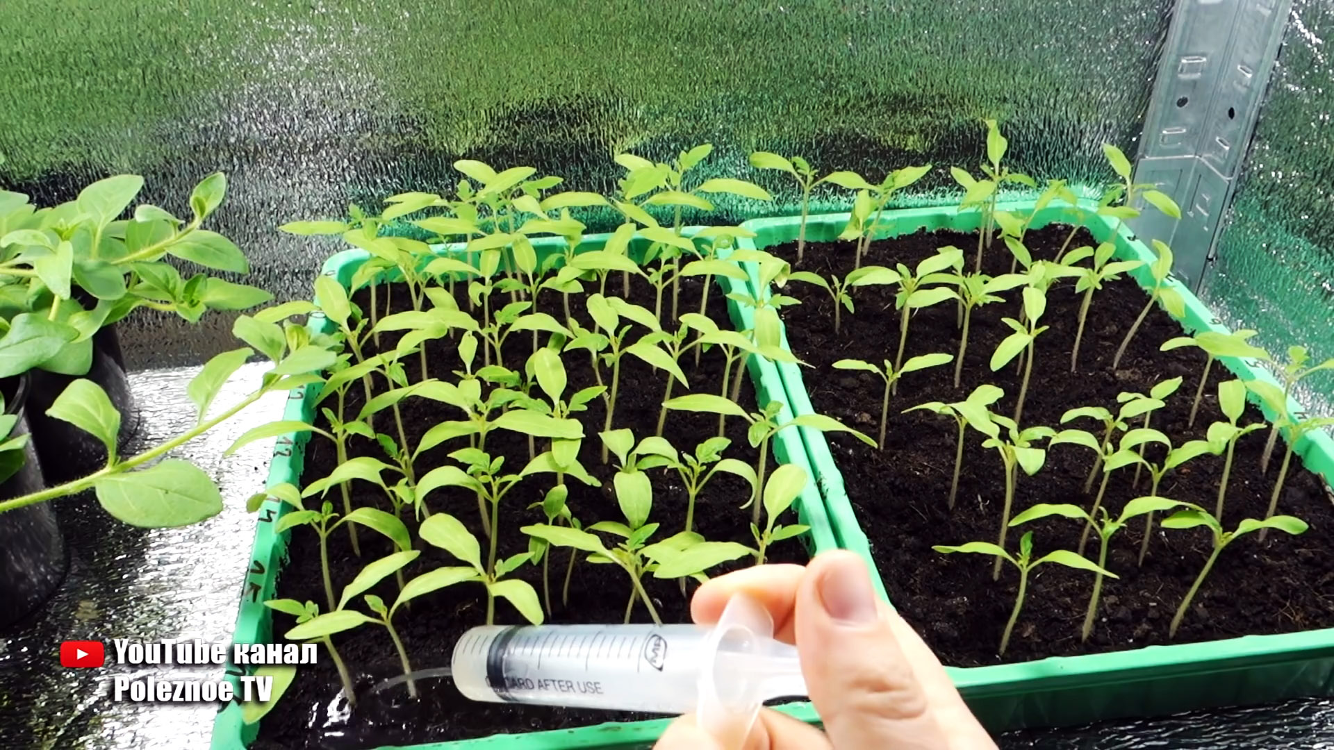 Копеечная подкормка для рассады томатов, от которой сразу идет рост