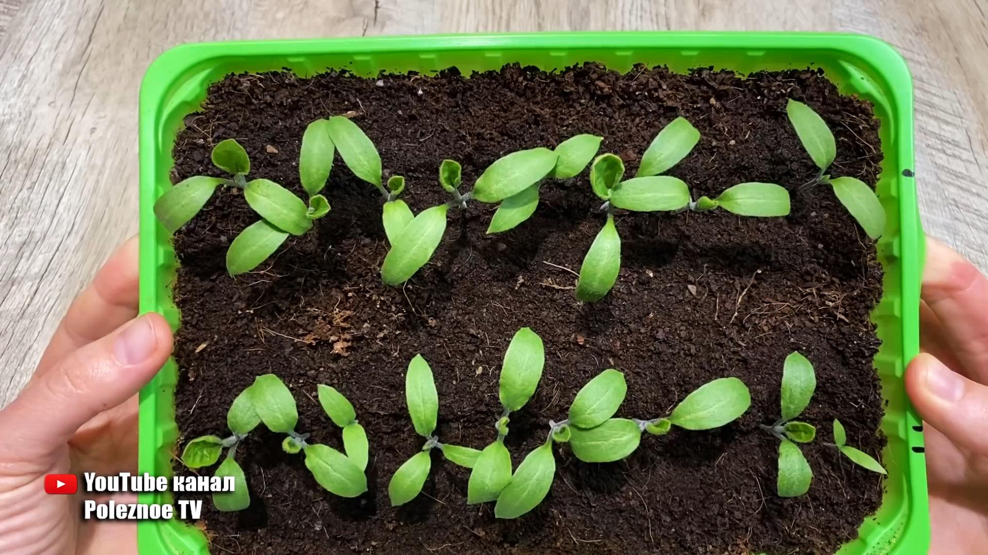 Как с помощью обычного активированного угля вырастить сильную и здоровую рассаду