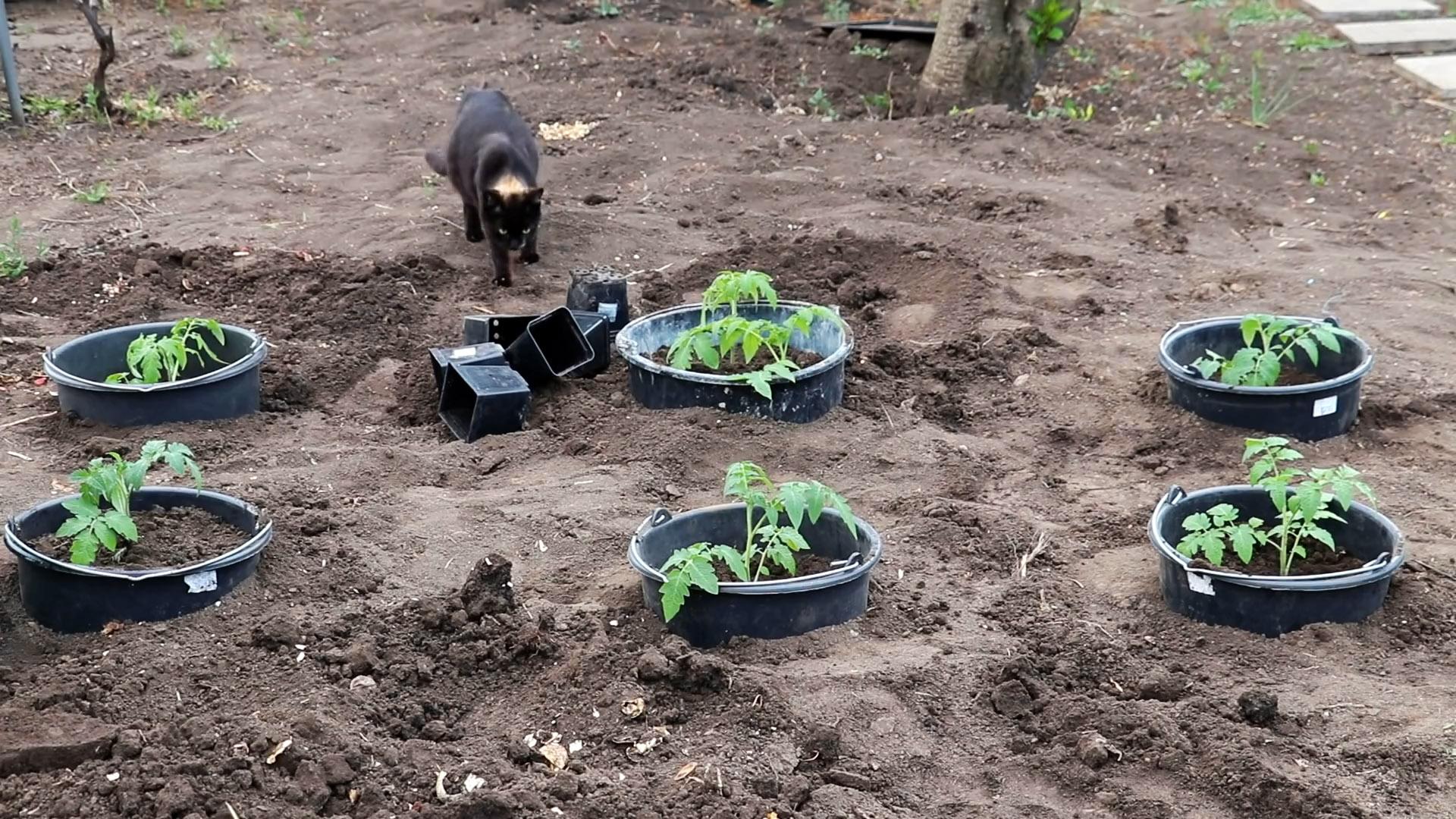 Ноу-хау в посадке помидор для большого урожая