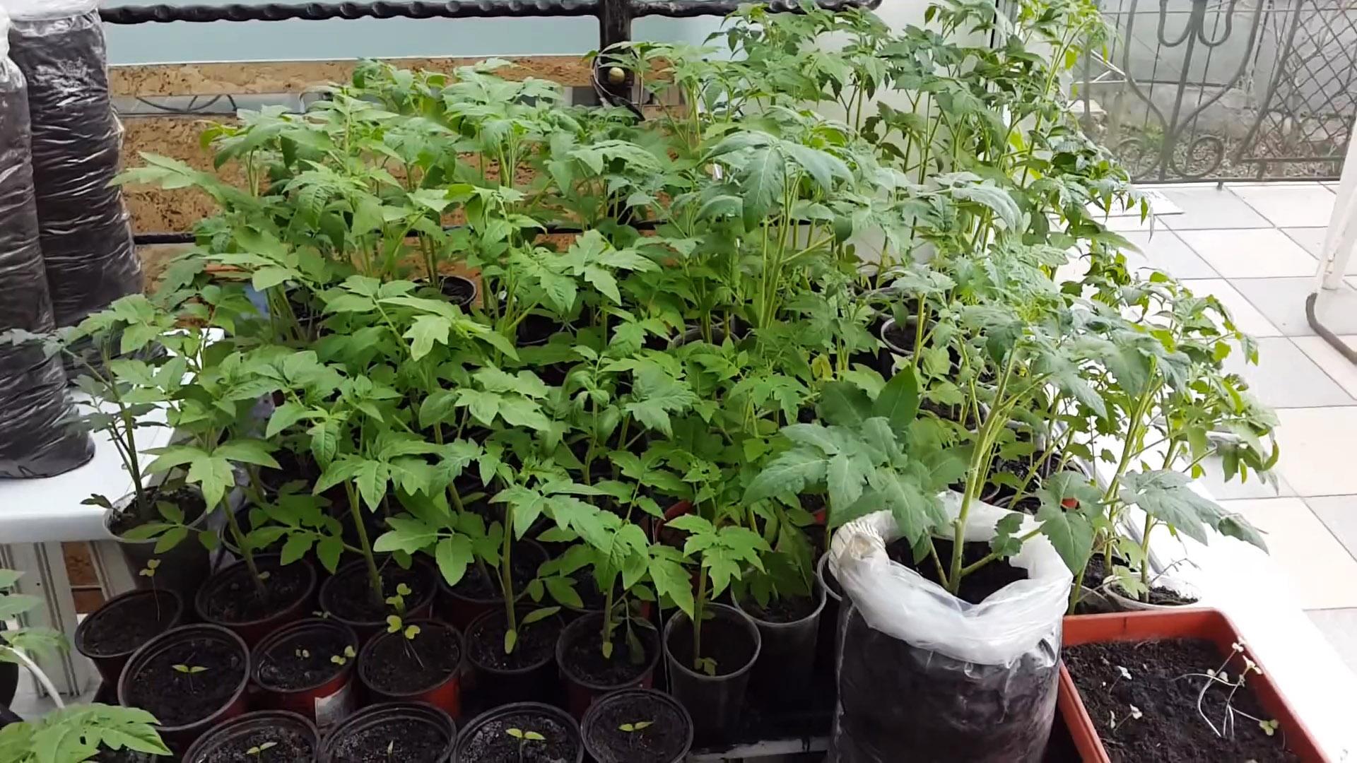 Выращивание томатов методом И.М. Маслова