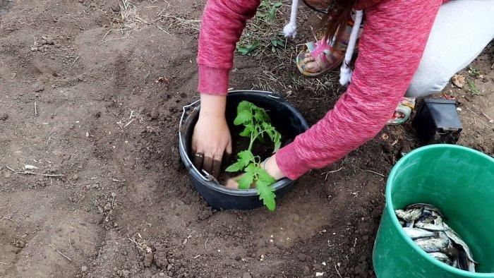 Ноухау в посадке помидор для большого урожая