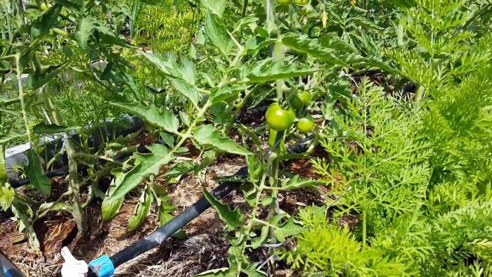 Выращивание томатов методом ИМ Маслова