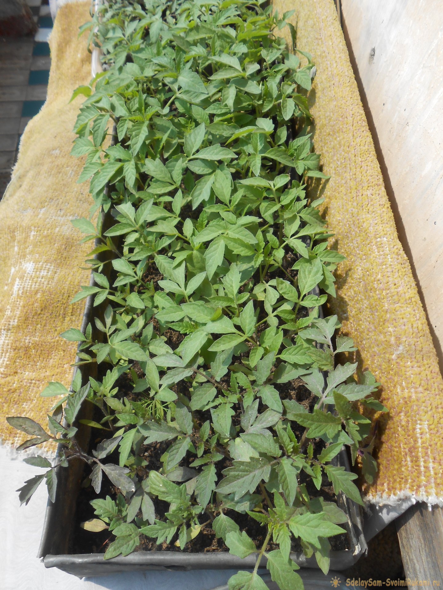 Как устранить фосфорное голодание рассады томатов