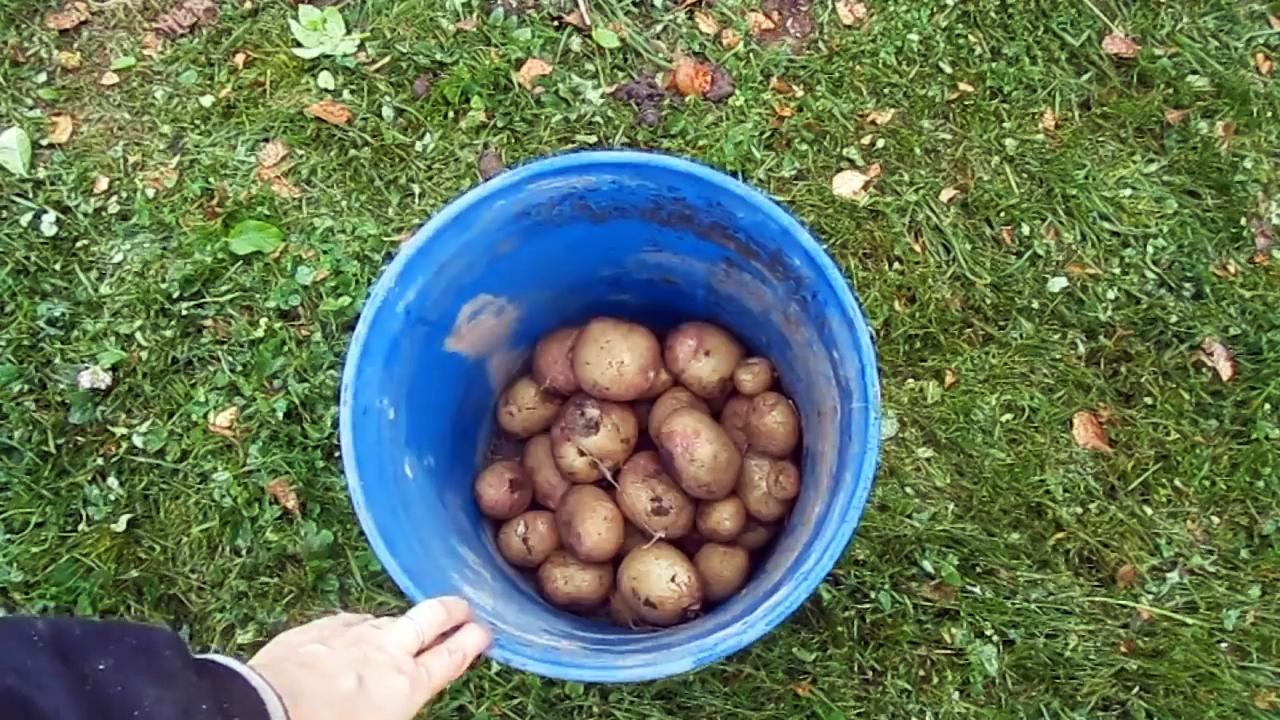 Как выращивать картофель в покрышках и насколько это эффективно