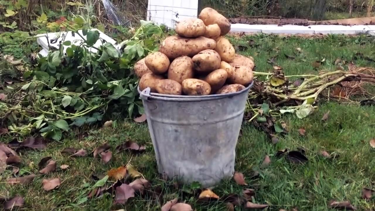 Как сажать картофель в ящики и собирать по ведру с куста
