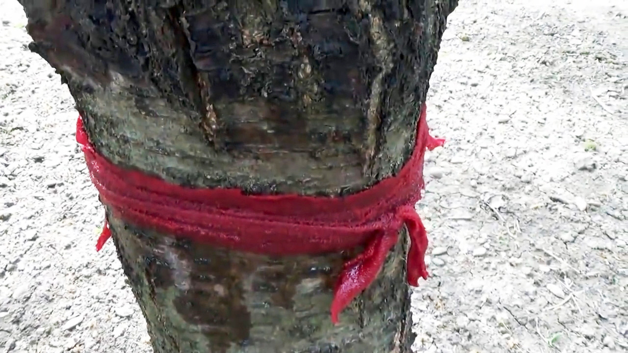 Дешевый и безопасный метод борьбы с муравьями и тлей на деревьях