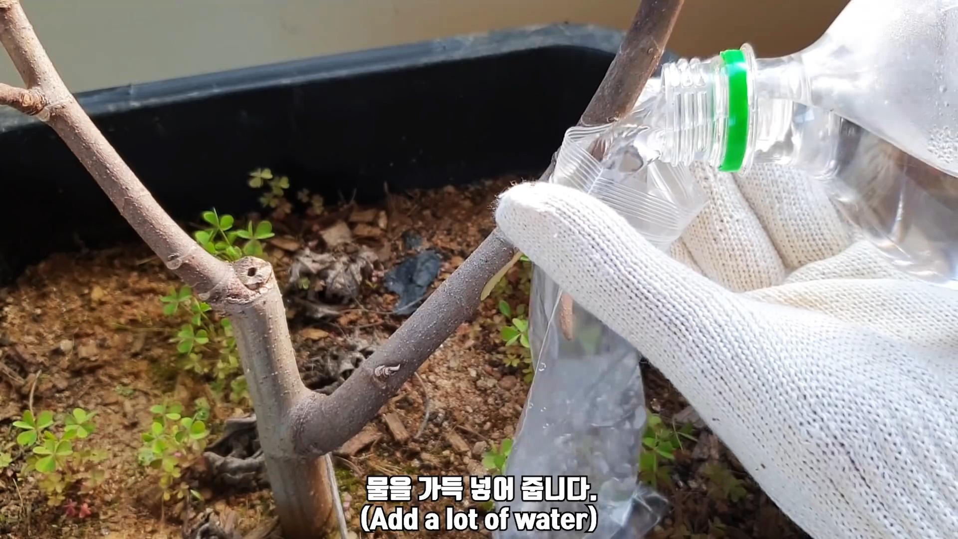Любопытный способ укоренения саженцев с веток в воде