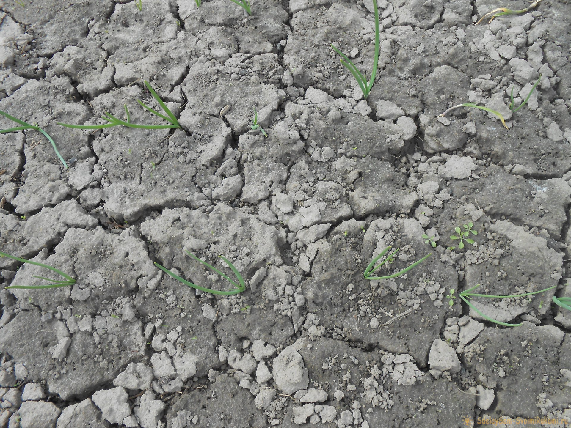 Подкормка чеснока в мае для большого урожая. Закваска для улучшения микробиологической обстановки в почве