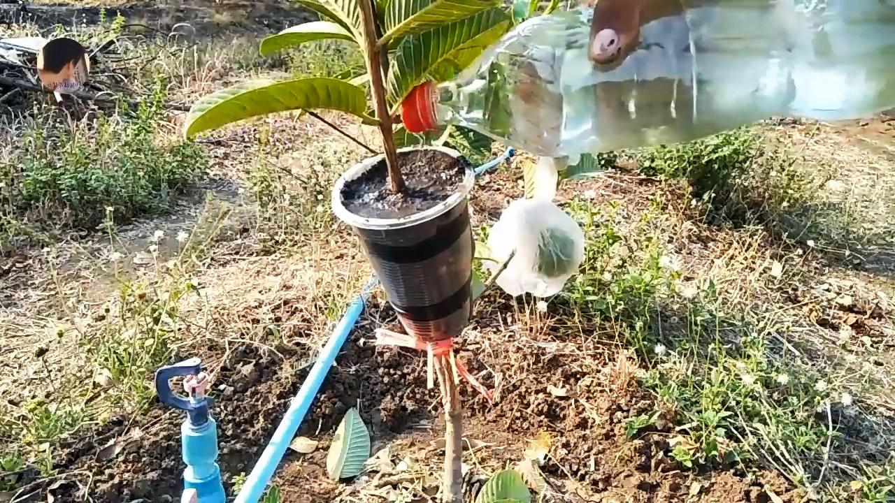 Новый способ быстрого получения саженцев с любого дерева