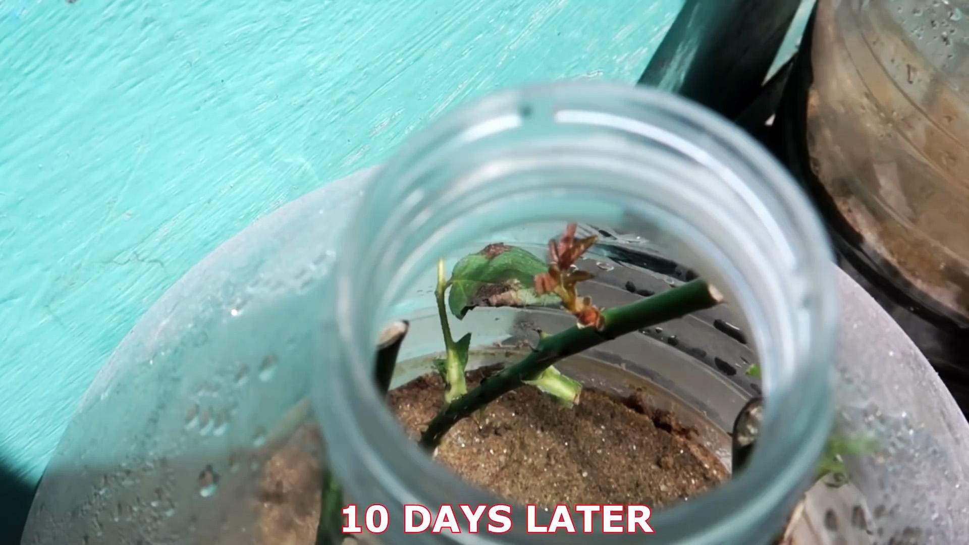 Эффективное укоренение розы при помощи пластиковой бутылки