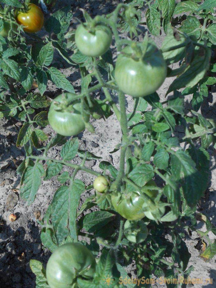 Чем подкормить томаты в середине лета для большого урожая
